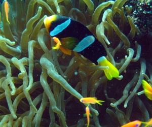 maldive2011_pescepagliaccio_12